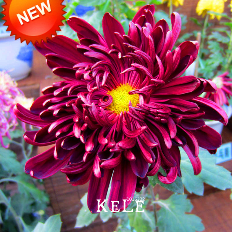 All about When To Plant Chrysanthemum Seeds Uk